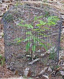 Chestnut tree seedling with protective animal guard.